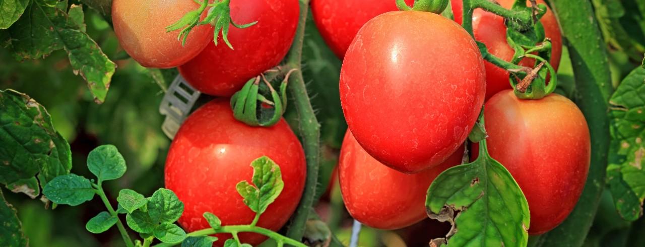 Fresh tomatoes on the vine.