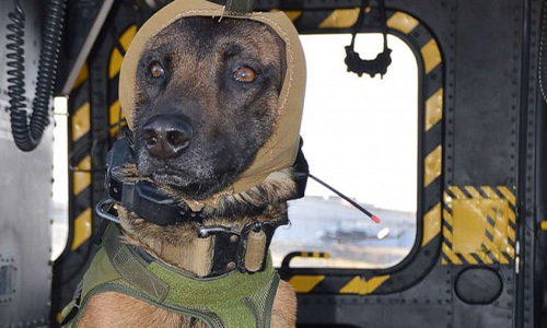 Military working dog wearing UC-designed hearing-loss protection
