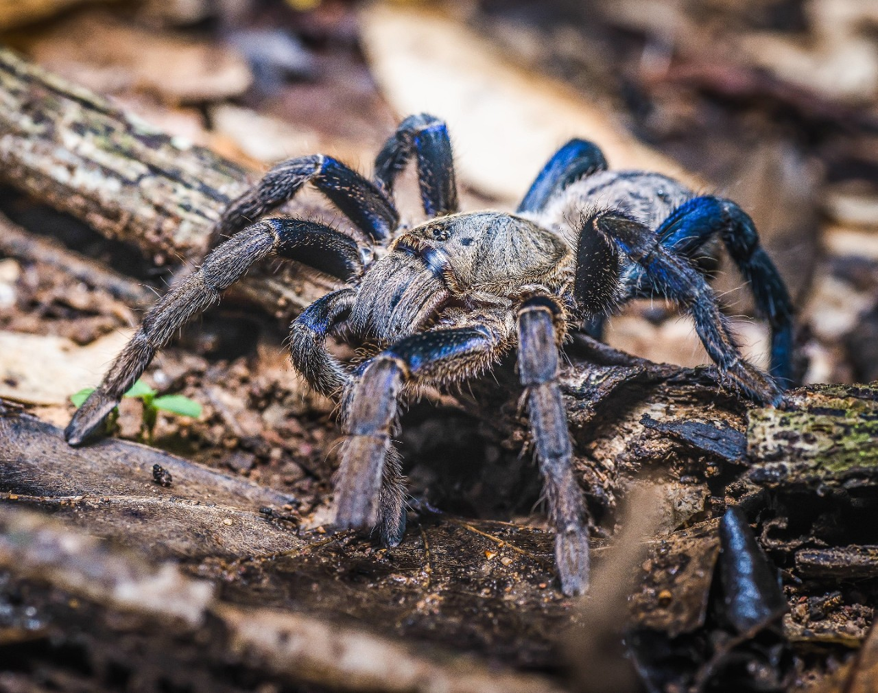 NYT: Why so blue, tarantula?