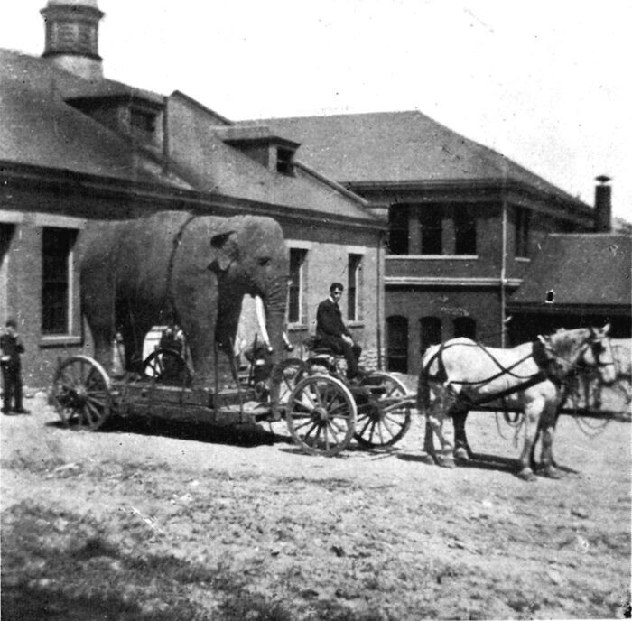 Black and white photo of an elephant being carted by a horse and buggy