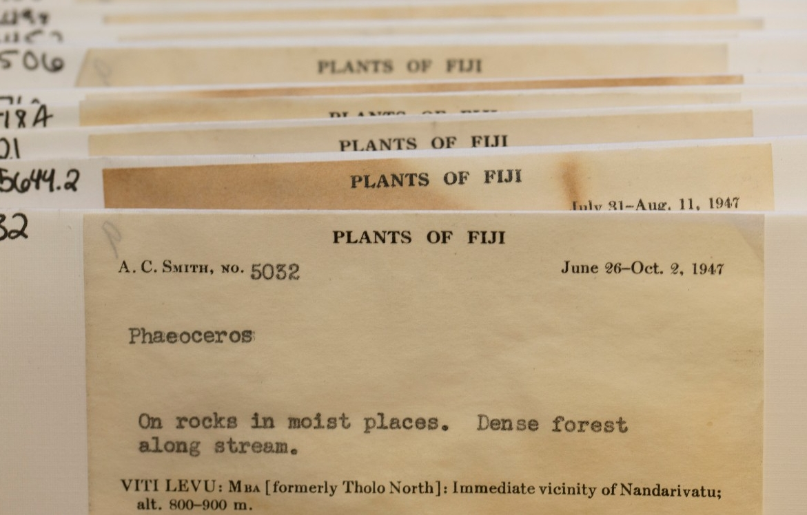 "Faded yellow envelopes full of botanical specimens have new white labels. The labels read, ""Plants of Fiji."""