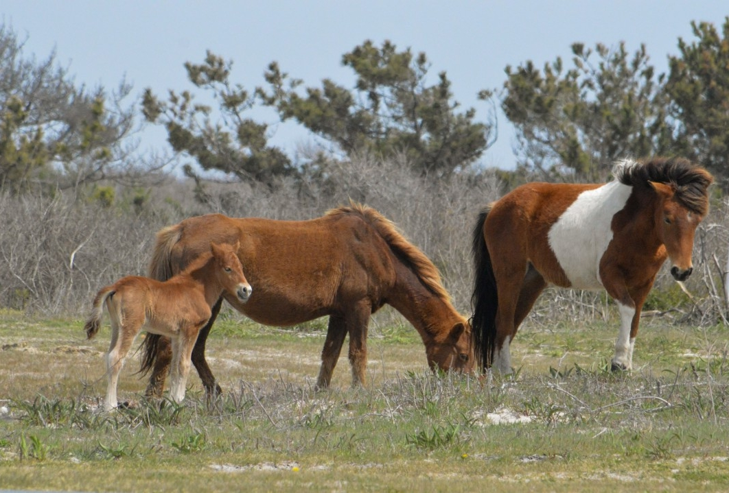 A band of wild horses in Assateague.