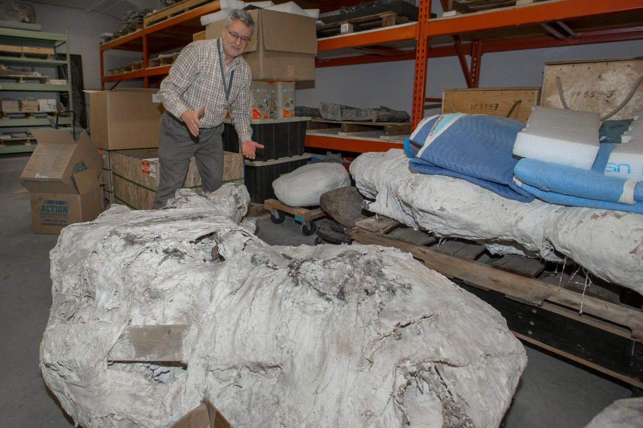 Glenn Storrs stands next to a triceratops skull wrapped heavily in protective plaster.