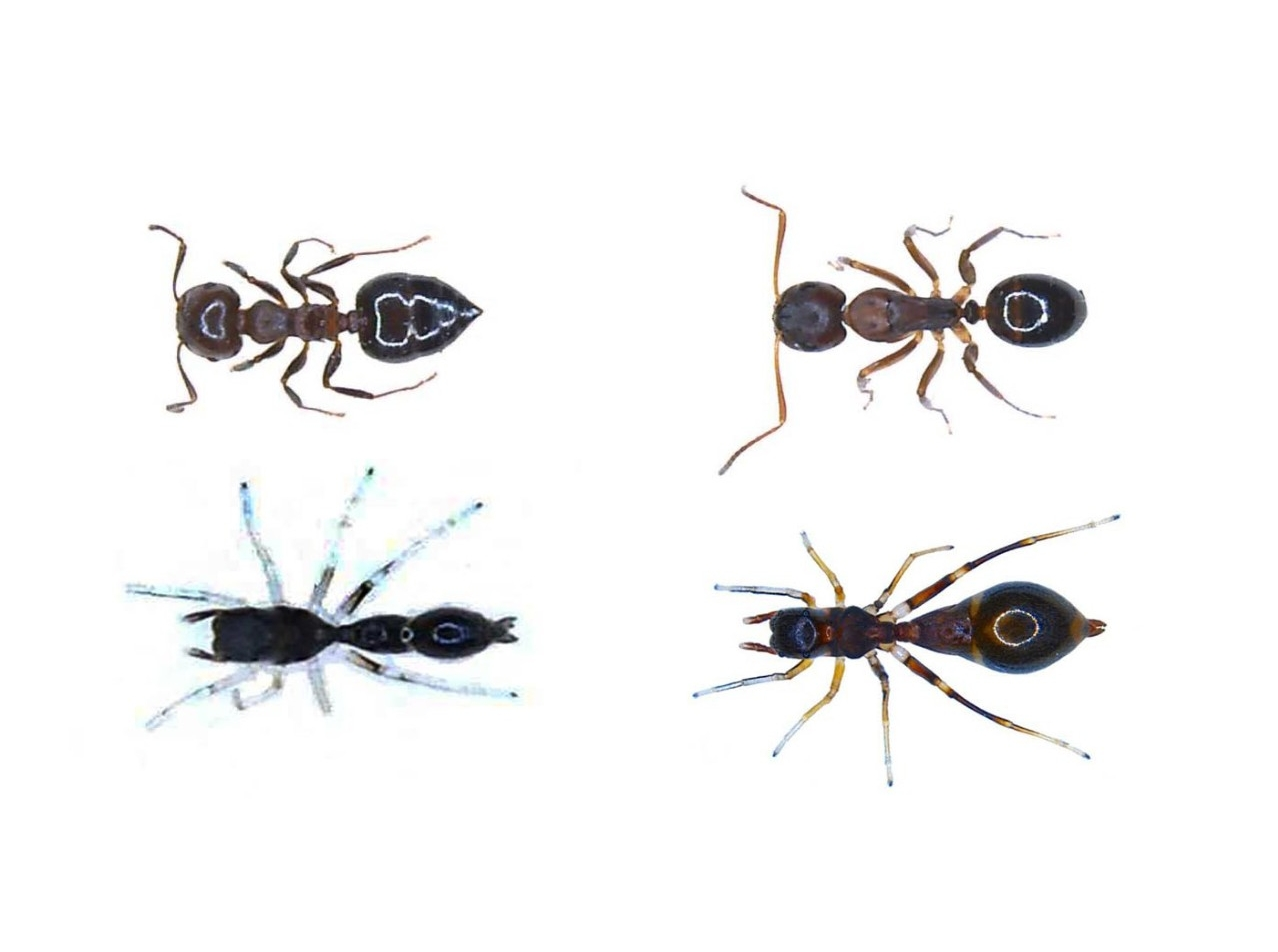 Side by side comparison of ant mimics shows a small ant next to a juvenile spider and an adult ant next to an adult spider.