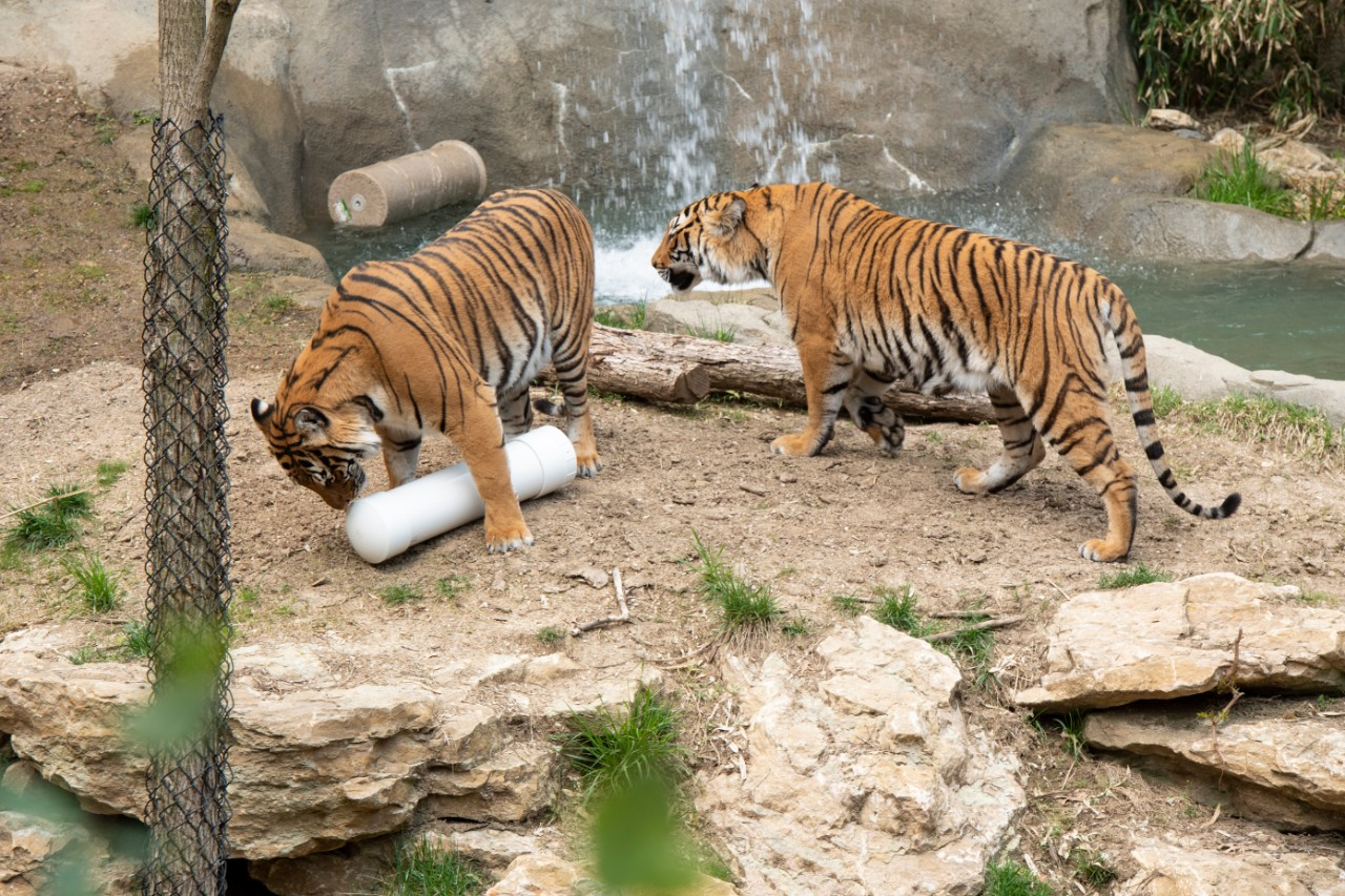 Two tiger sniff a white PVC cylinder that is playing music and has embedded lights in an outdoor exhibit at the Cincinnati Zoo & Botanical Garden.