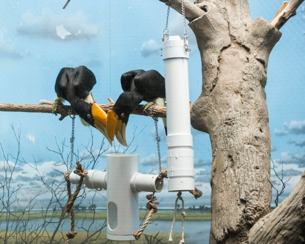 Hornbills stick their bills into a pipe to reach grapes.