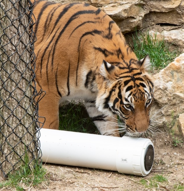 A tiger sniffs a white plastic cylinder that contains a speaker playing music and has embedded lights in an outdoor exhibit at the Cincinnati Zoo & Botanical Garden.