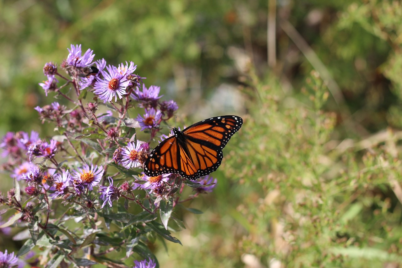 Migrating monarch butterfly.
