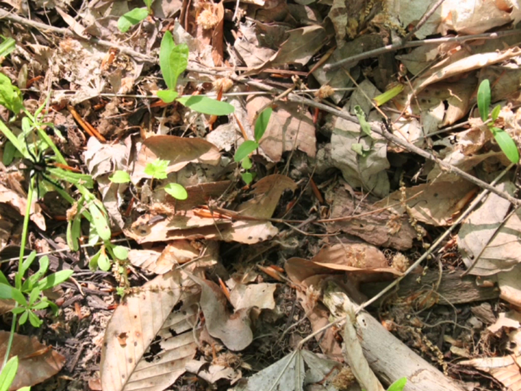 A wolf spider is hidden in the leaf litter.