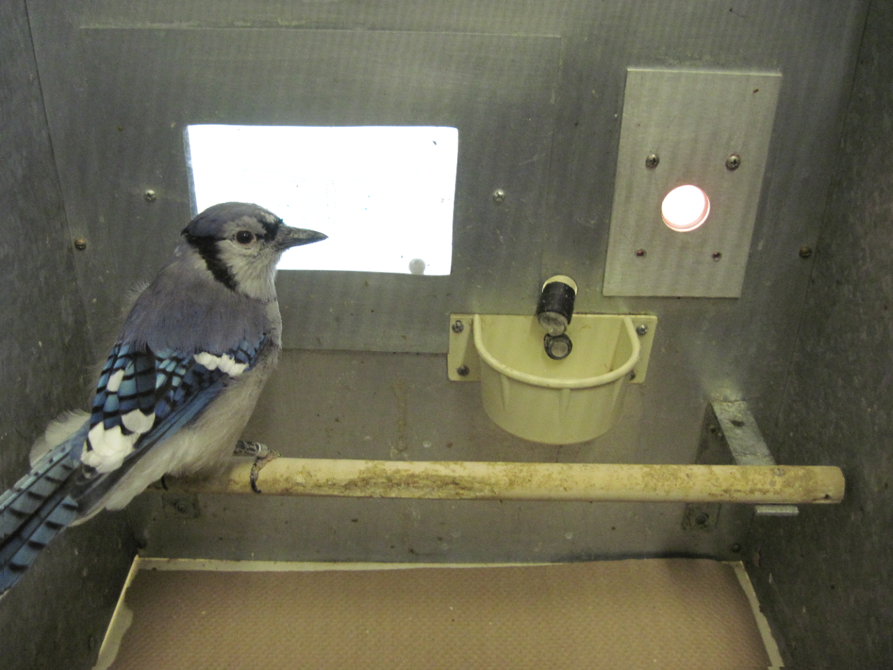A blue jay sits on a perch in an experimental box with lights and a food tray.