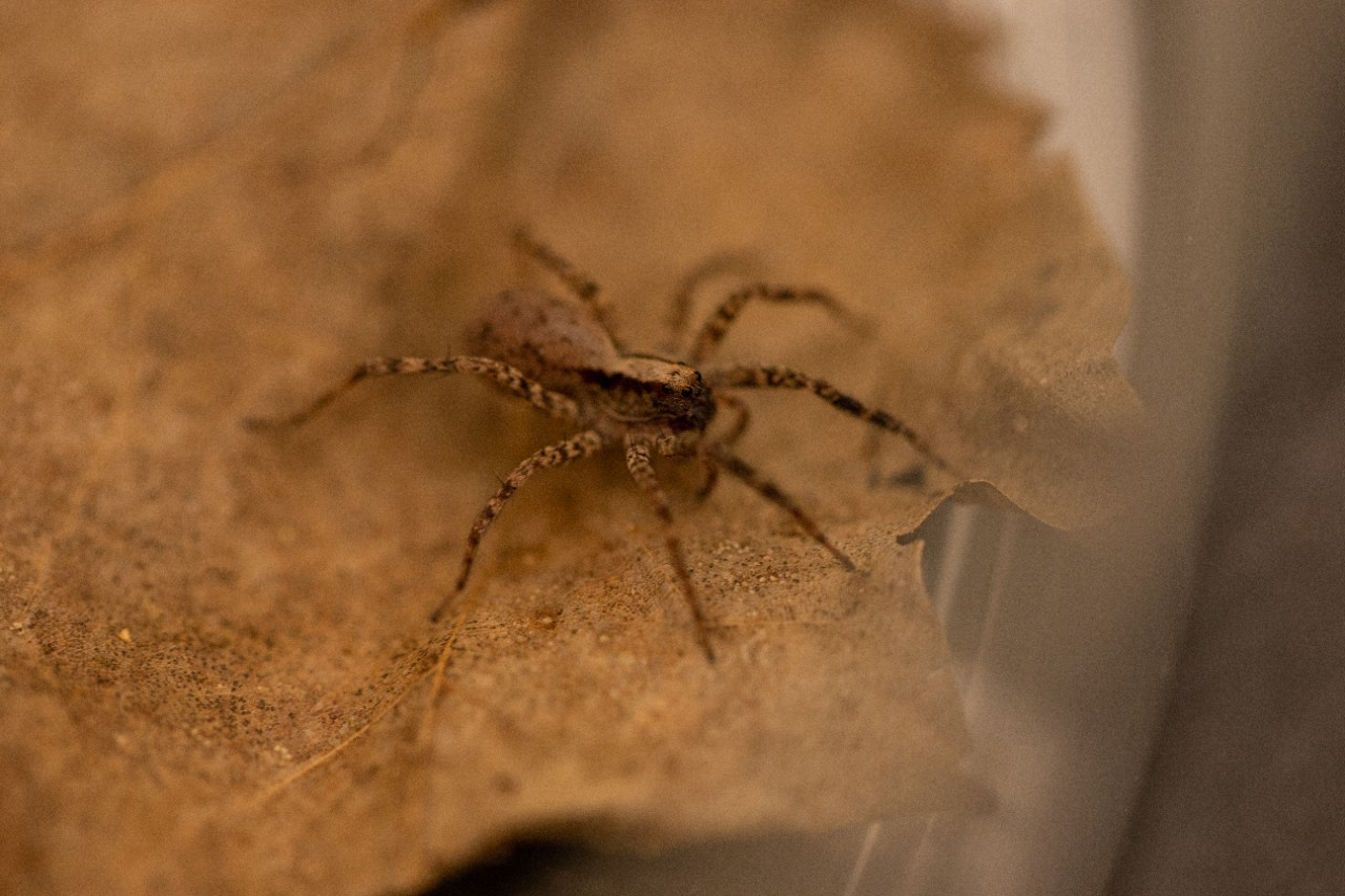A wolf spider on a dry leaf.