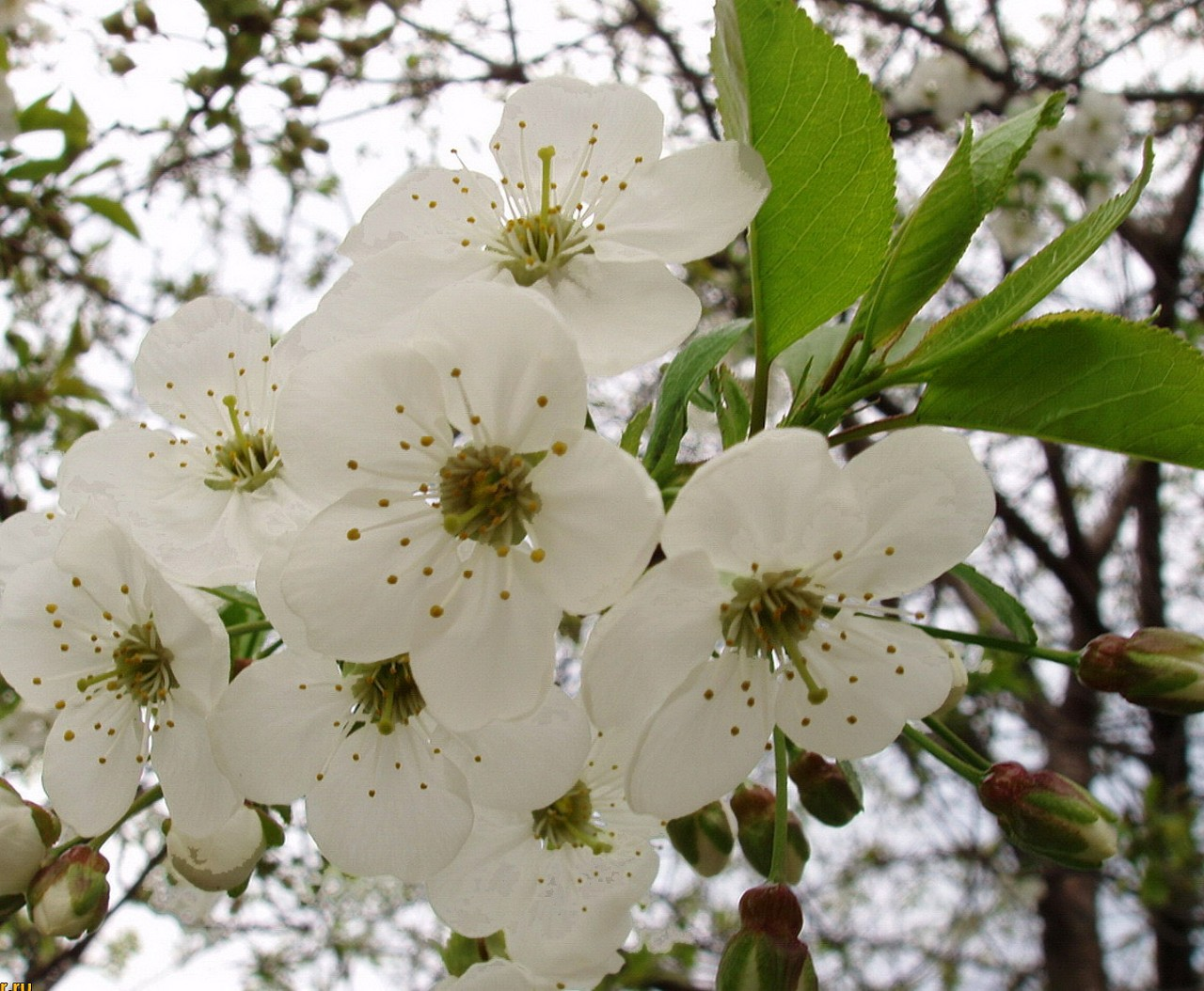 A pear tree's white flowers.