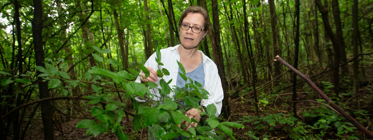 Theresa Culley, UC biology professor shown here with invasive Bradford or Callery pear trees at Harris benedict Nature Preserve in Hazelwood, Ohio.  UC/Joseph Fuqua II
