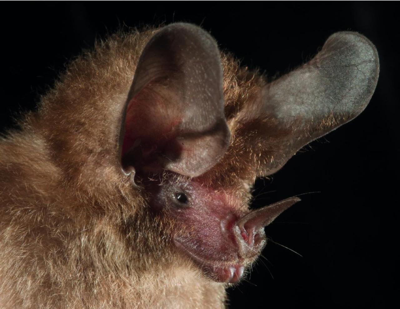 A close look at a big-eared bat.