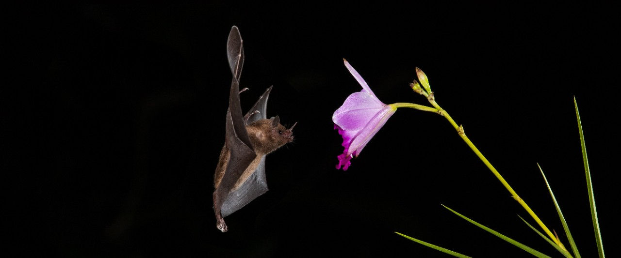 A bat uses echolocation to approach a flower.