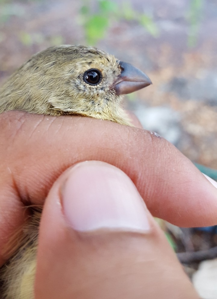 A closeup of a hand holding a live finch.