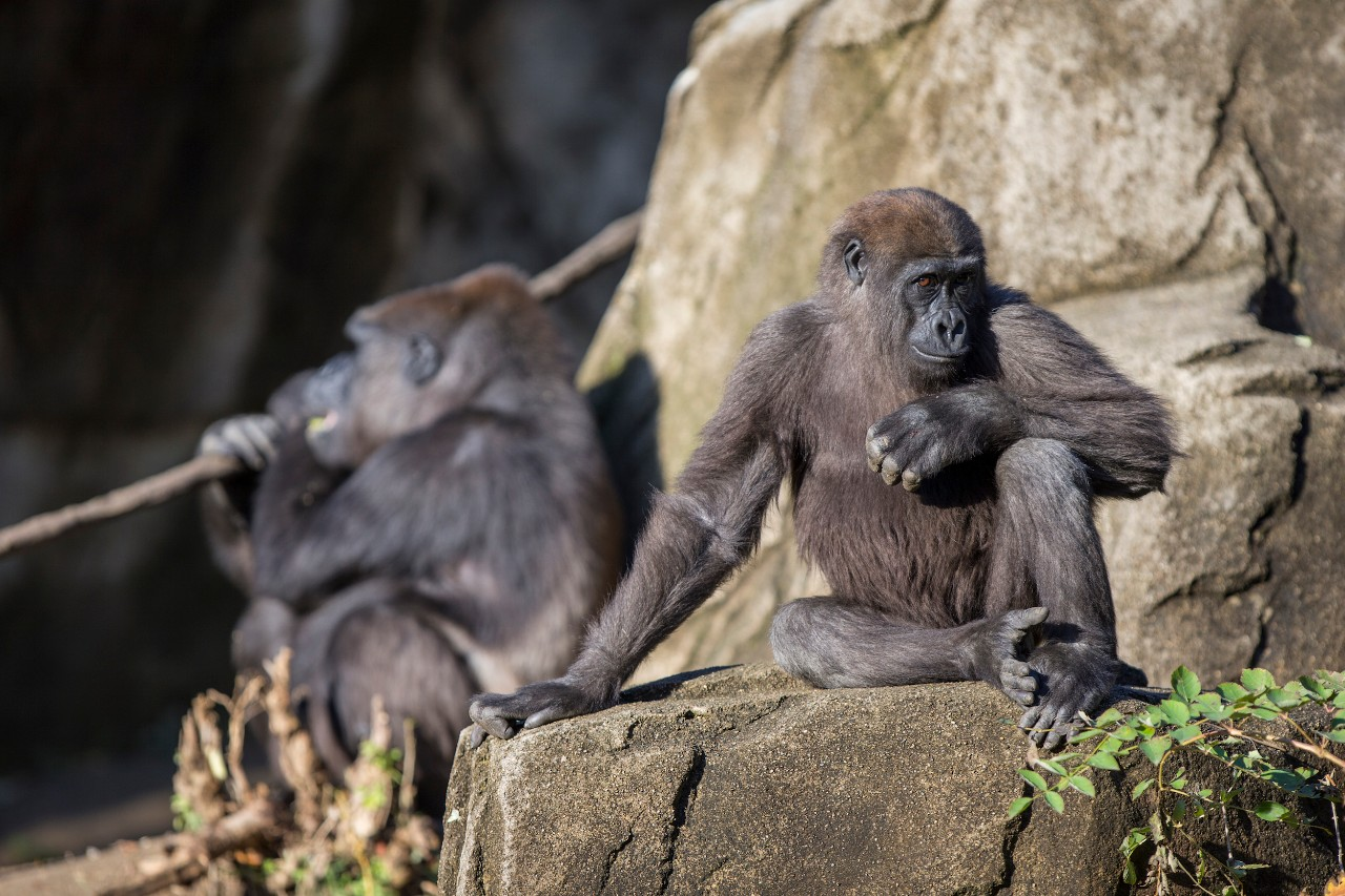 Primates sit on rocks at the Cincinnati Zoo