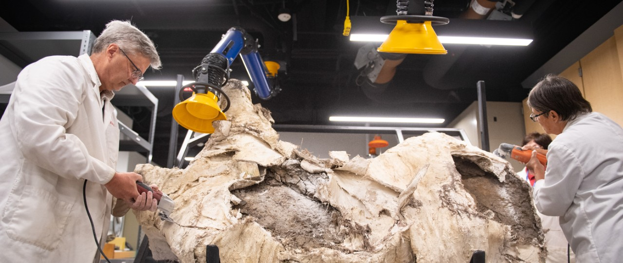 Museum staff in white lab coats work to remove plaster from a Triceratops fossil.