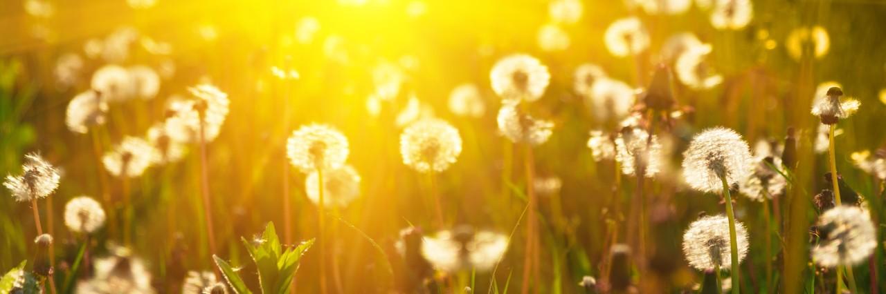 photo of a field of dandelions