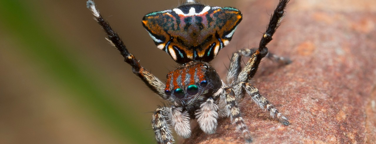 A peacock jumping spider's butt looks like a mantis' head.