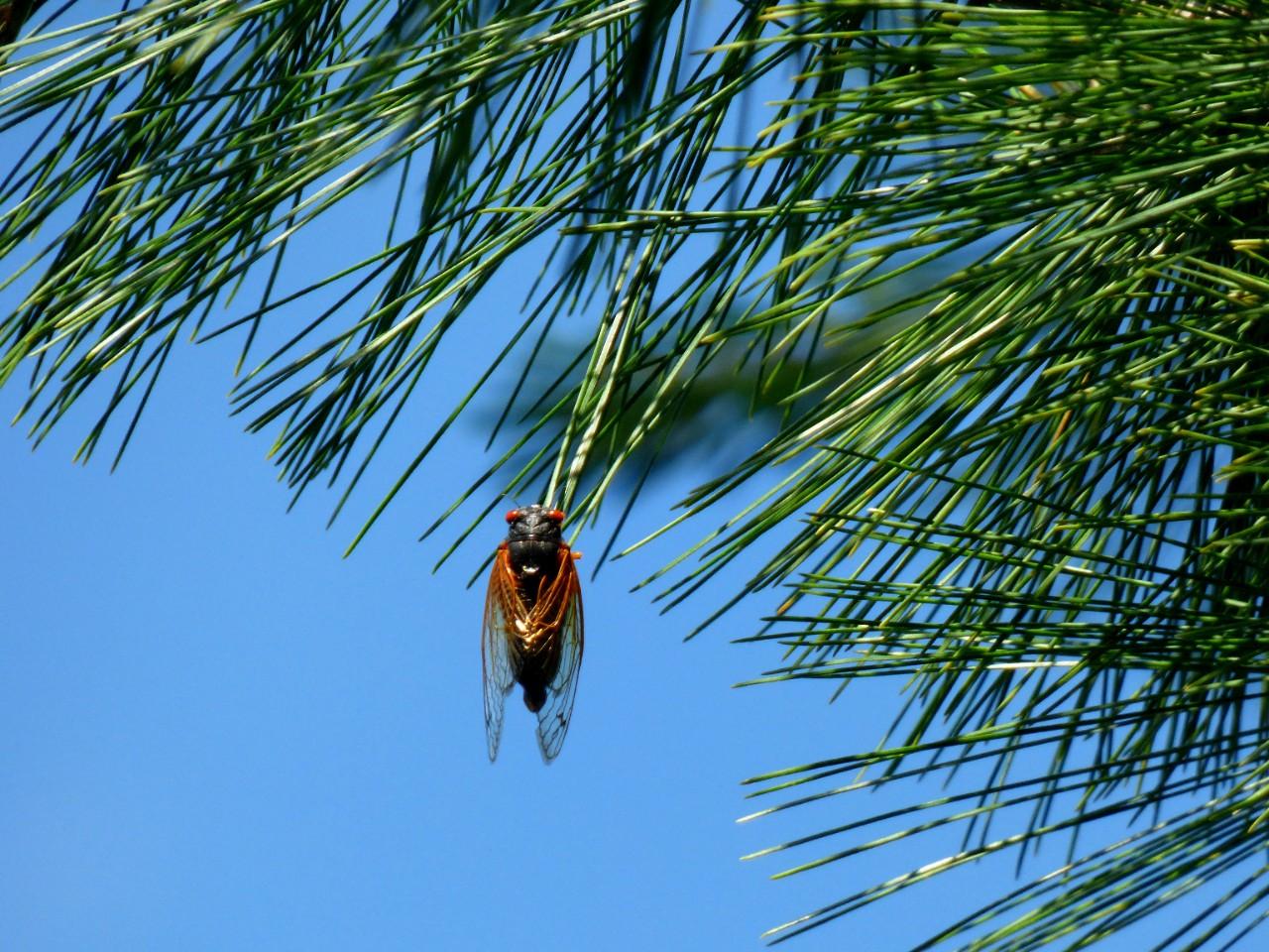 A cicada dangles from a fir bough.