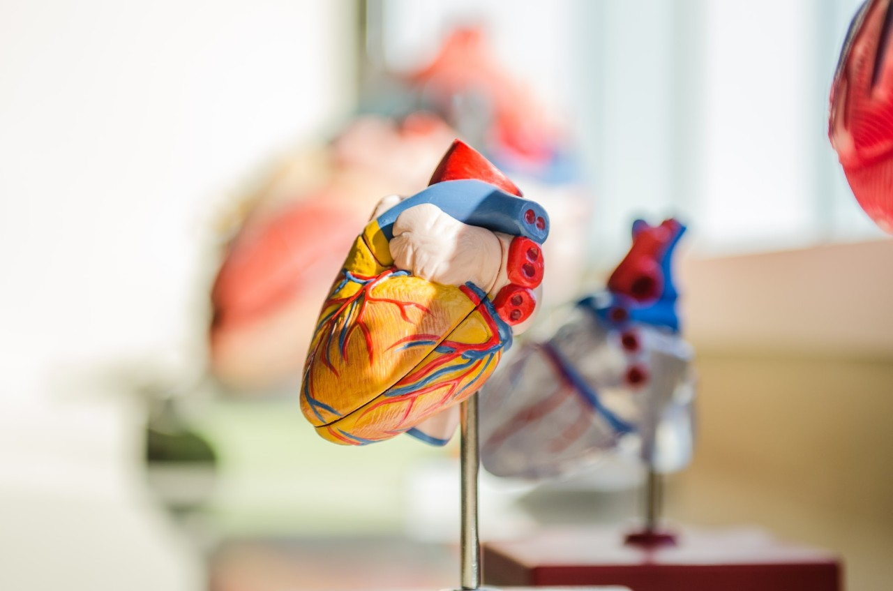 model of a human heart on display
