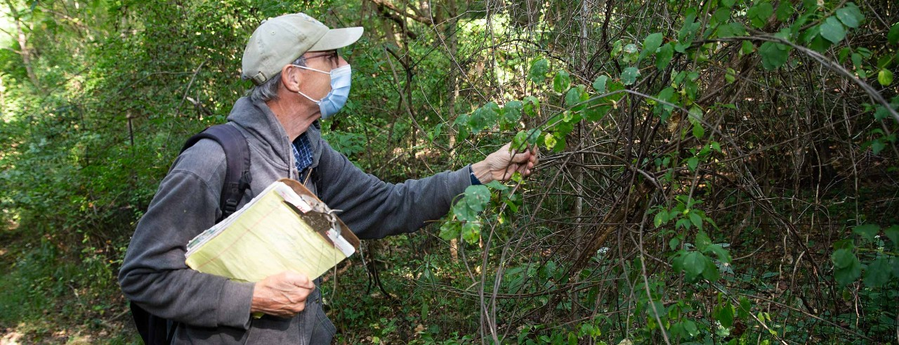 UC professor Denis Conover studies a shrub at Spring Grove Cemetery and Arboretum while wearing a face mask and carrying a clipboard.
