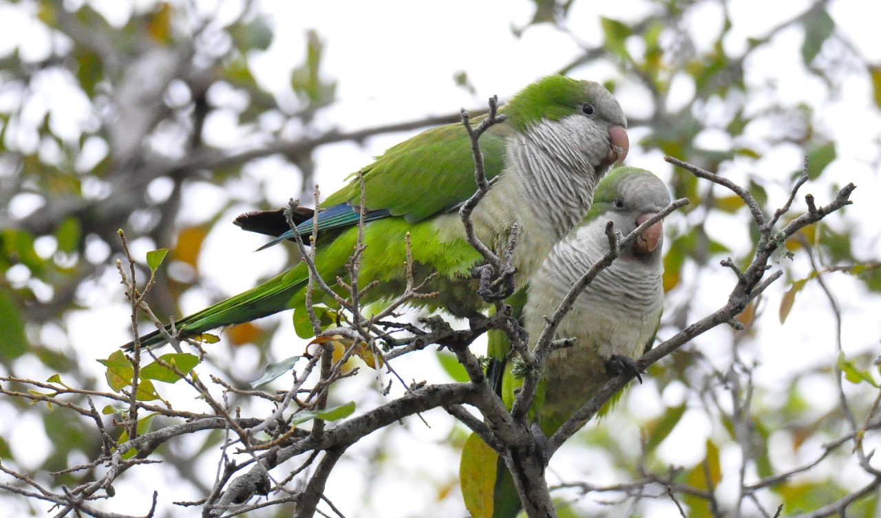 Monk parakeets sit in a tree.