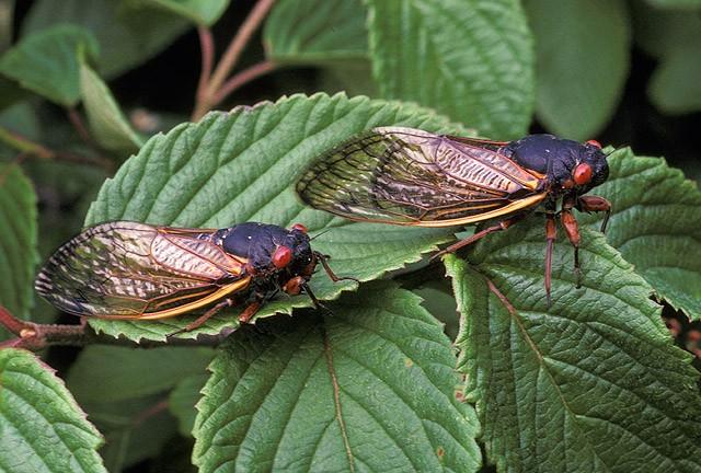 Two cicadas on a leaf.