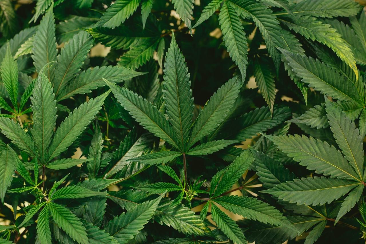 photo of marijuana leaves