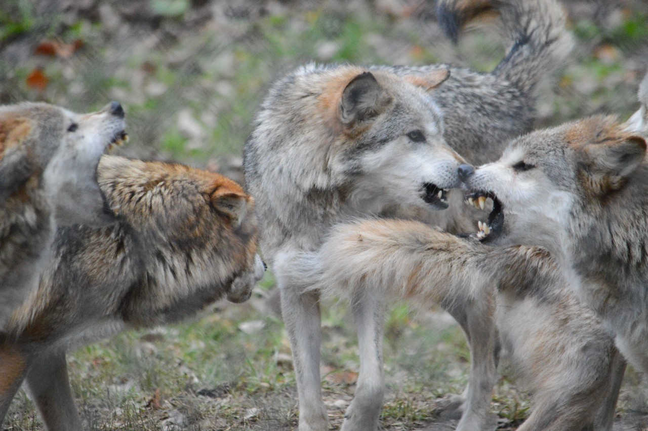 Mexican wolves snarl at each other at the Columbus Zoo.