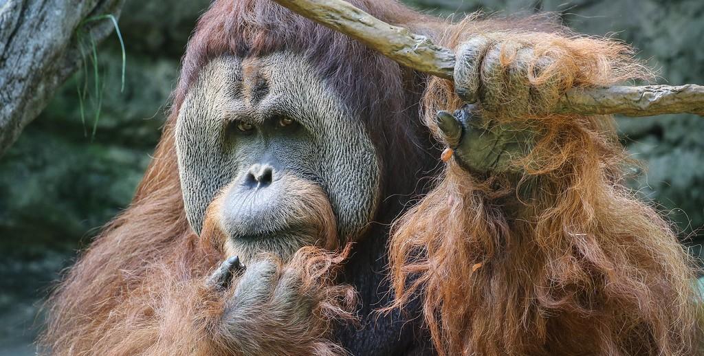 An orangutan scratches its face.